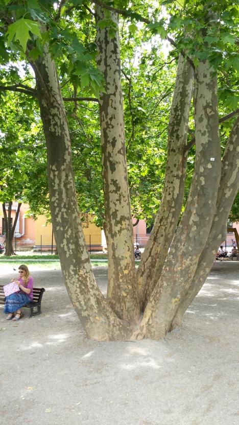 Az ötágú platán Bolognában, a 2011. szeptember 11. nevű parkban, ami az öt kontinens békéjét szimbolizálja